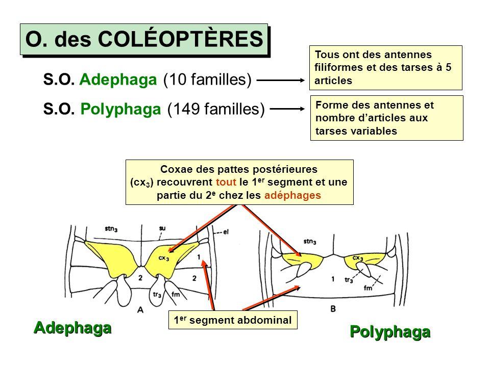 O.des COLÉOPTÈRES S.O. Adephaga (10 familles) S.O.