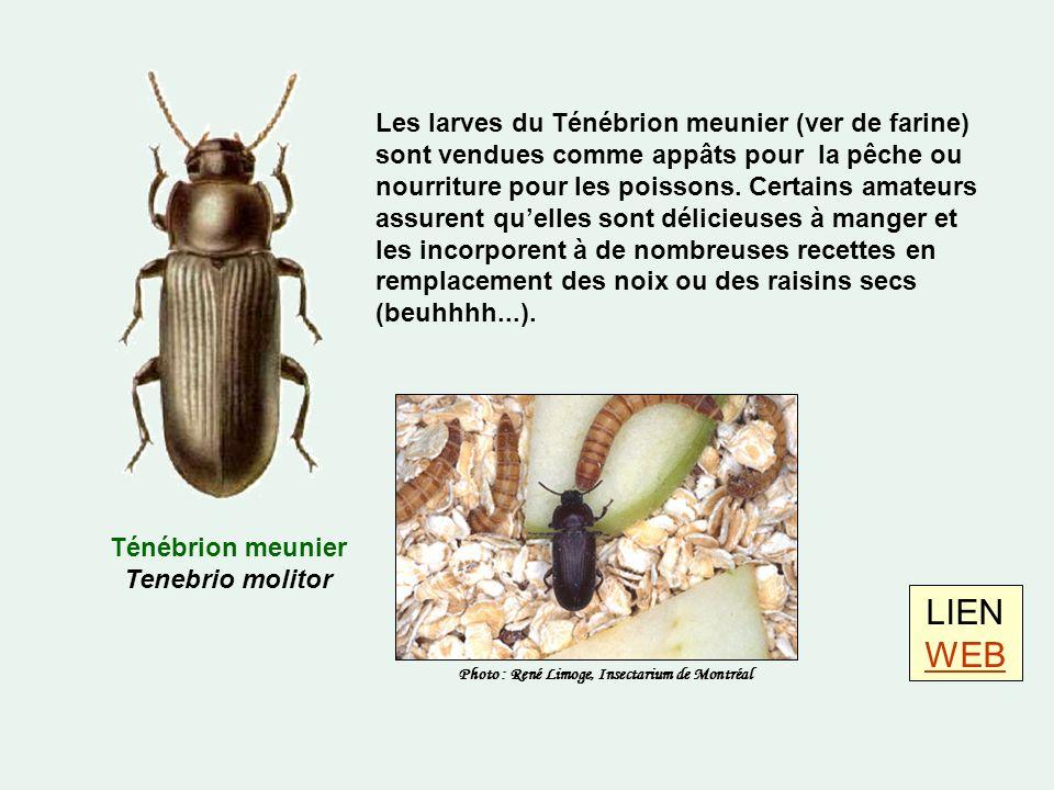 Ténébrion meunier Tenebrio molitor LIEN WEB WEB Les larves du Ténébrion meunier (ver de farine) sont vendues comme appâts pour la pêche ou nourriture pour les poissons.