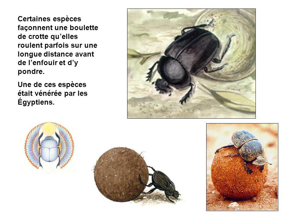 Certaines espèces façonnent une boulette de crotte quelles roulent parfois sur une longue distance avant de lenfouir et dy pondre.