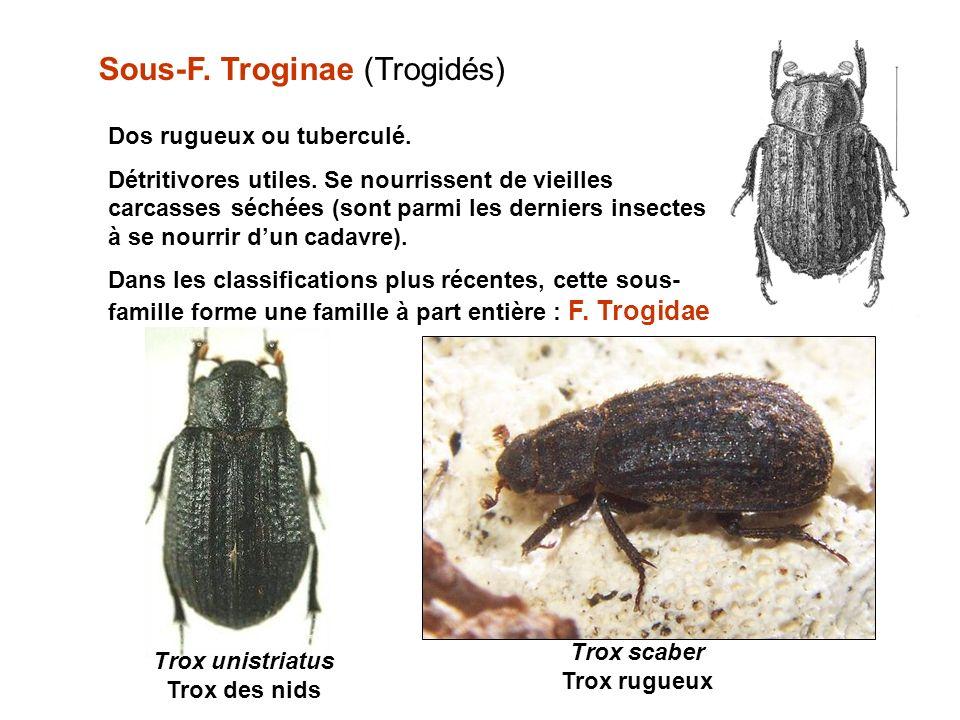 Sous-F.Troginae (Trogidés) Dos rugueux ou tuberculé.