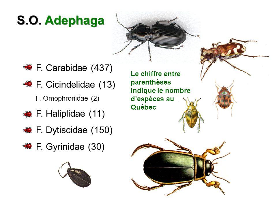 S.O.Adephaga F. Carabidae (437) F. Cicindelidae (13) F.