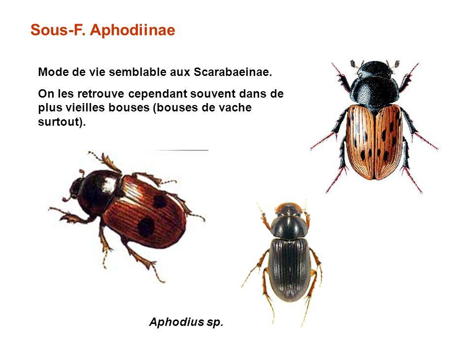 Sous-F.Aphodiinae Mode de vie semblable aux Scarabaeinae.