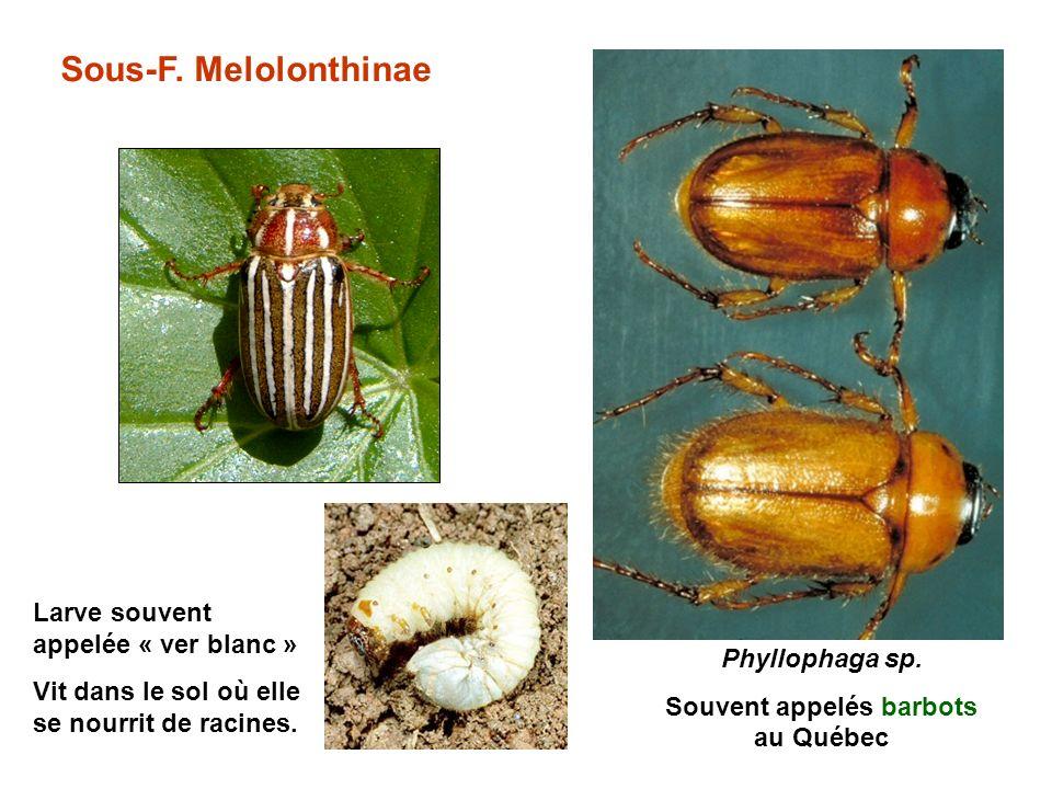 Sous-F.Melolonthinae Phyllophaga sp.