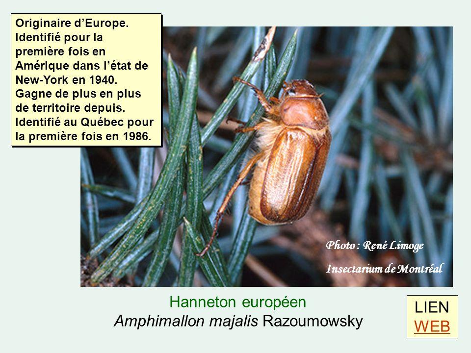 LIEN WEB WEB Hanneton européen Amphimallon majalis Razoumowsky Photo : René Limoge Insectarium de Montréal Originaire dEurope.
