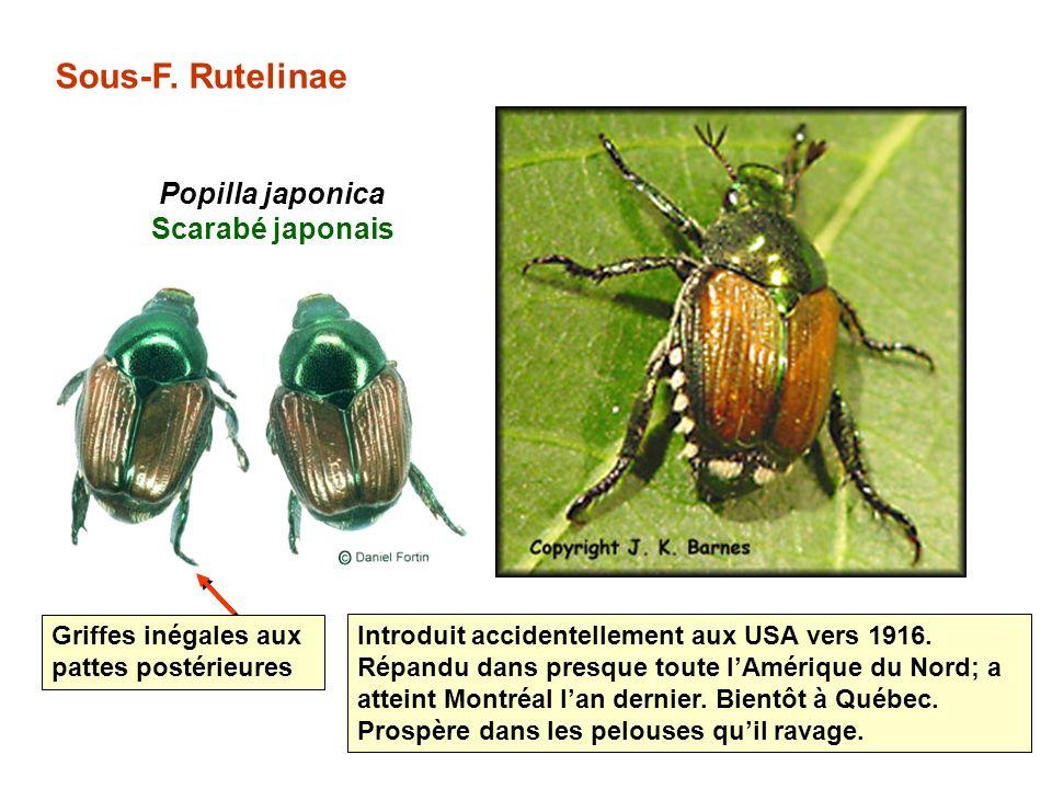 Sous-F.Rutelinae Popilla japonica Scarabé japonais Introduit accidentellement aux USA vers 1916.