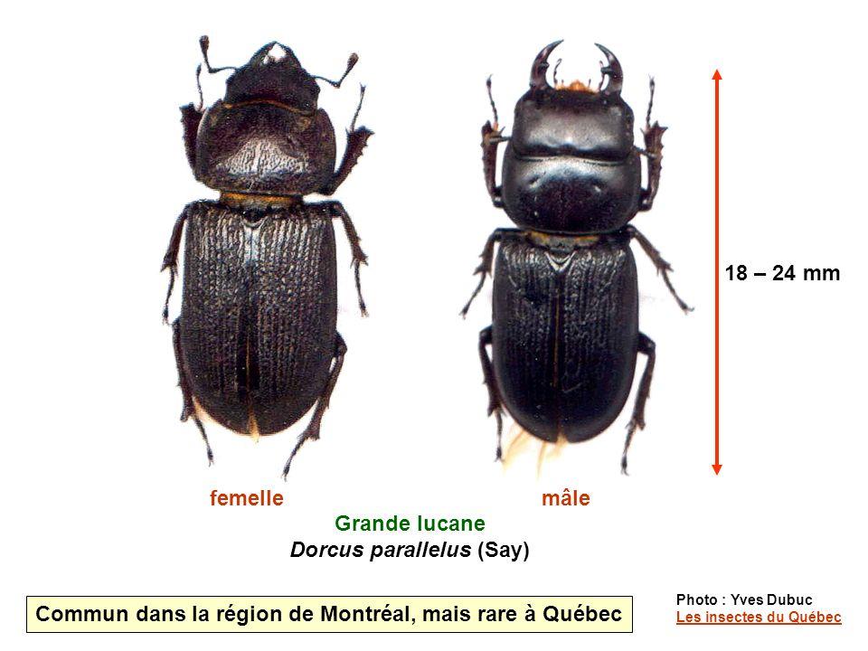 Grande lucane Dorcus parallelus (Say) femellemâle Photo : Yves Dubuc Les insectes du Québec Les insectes du Québec Commun dans la région de Montréal, mais rare à Québec 18 – 24 mm