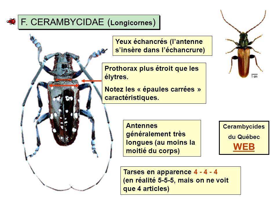 F.CERAMBYCIDAE ( Longicornes ) Prothorax plus étroit que les élytres.