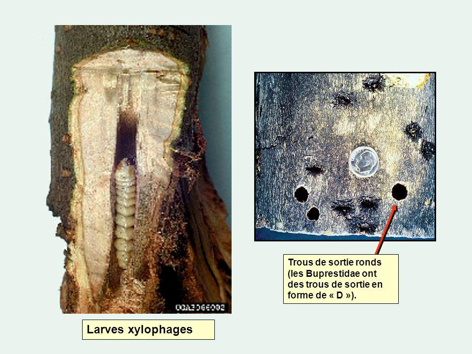 Larves xylophages Trous de sortie ronds (les Buprestidae ont des trous de sortie en forme de « D »).