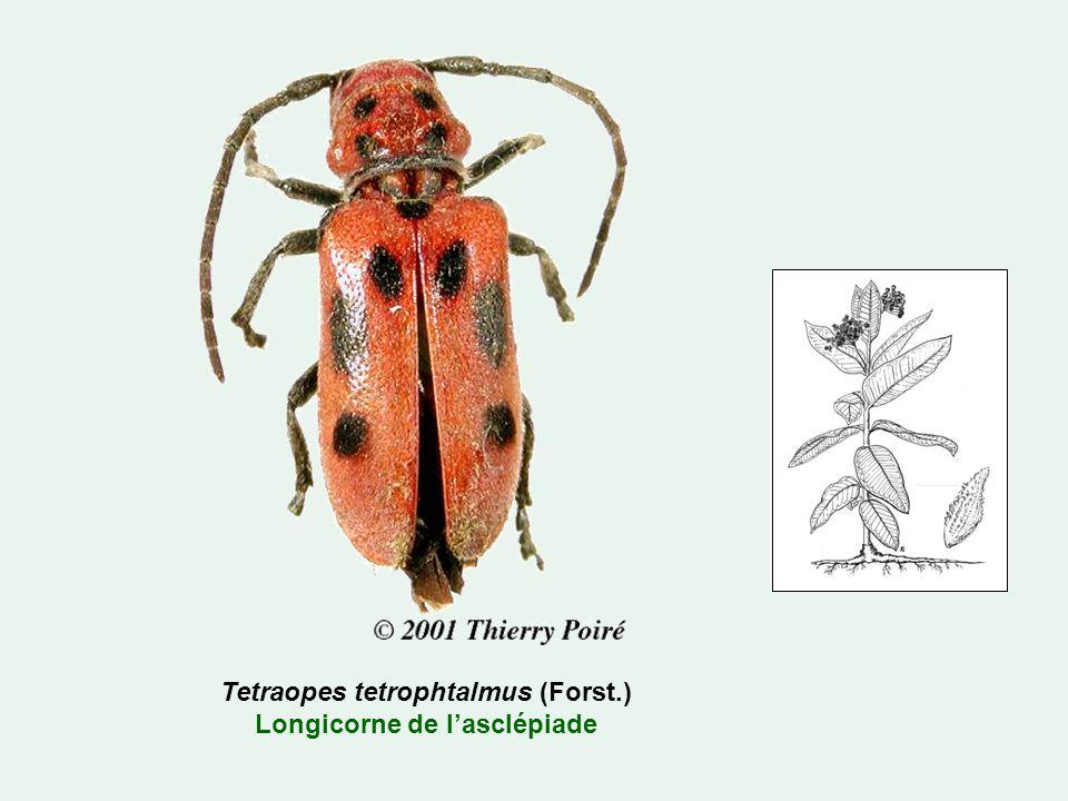 Tetraopes tetrophtalmus (Forst.) Longicorne de lasclépiade