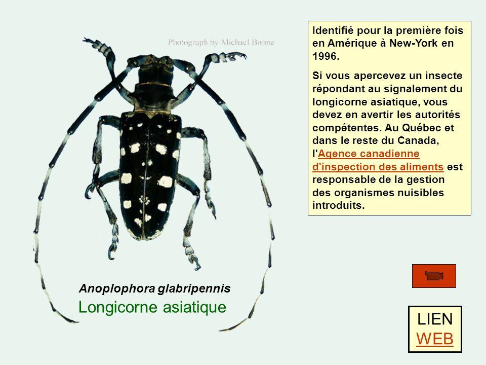 Anoplophora glabripennis Longicorne asiatique LIEN WEB WEB Identifié pour la première fois en Amérique à New-York en 1996.