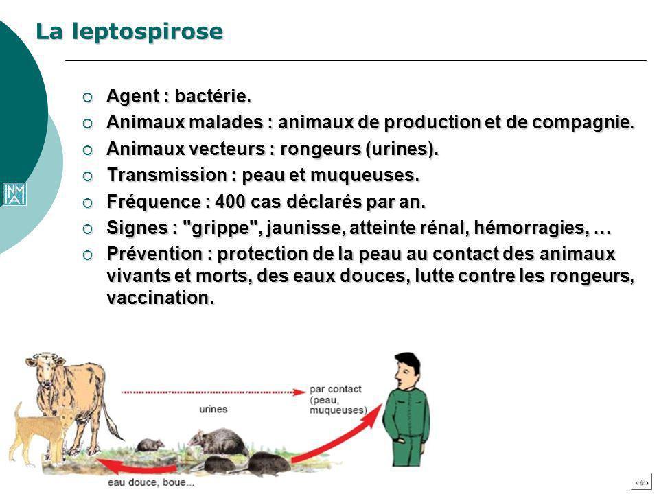 15 La leptospirose Agent : bactérie. Agent : bactérie. Animaux malades : animaux de production et de compagnie. Animaux malades : animaux de productio