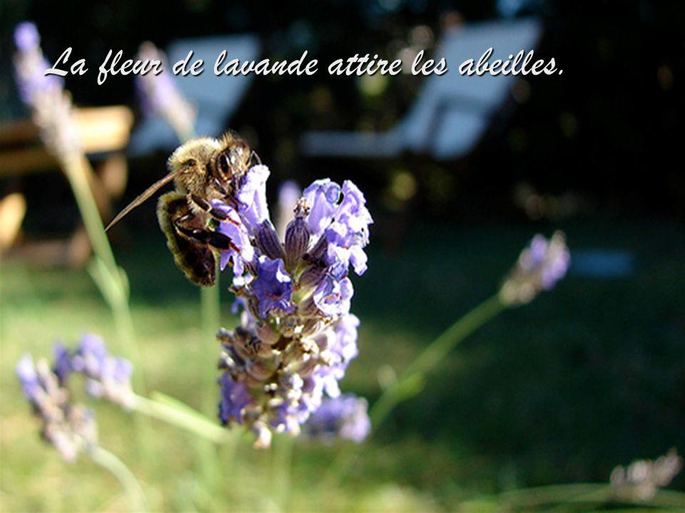 La fleur de lavande attire les abeilles.