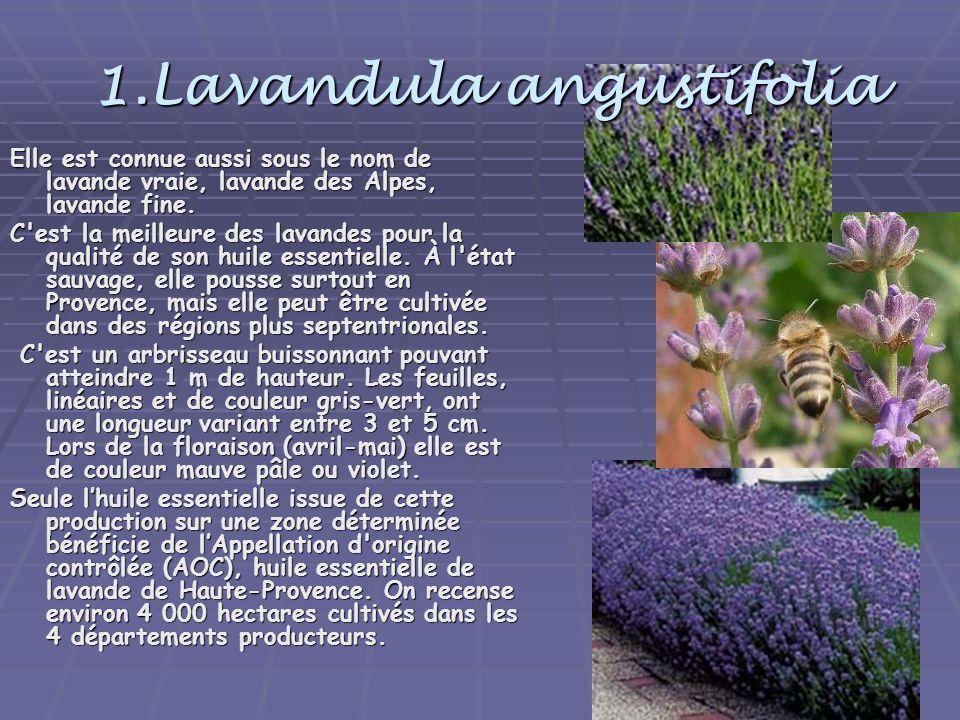 1.Lavandula angustifolia Elle est connue aussi sous le nom de lavande vraie, lavande des Alpes, lavande fine. C'est la meilleure des lavandes pour la