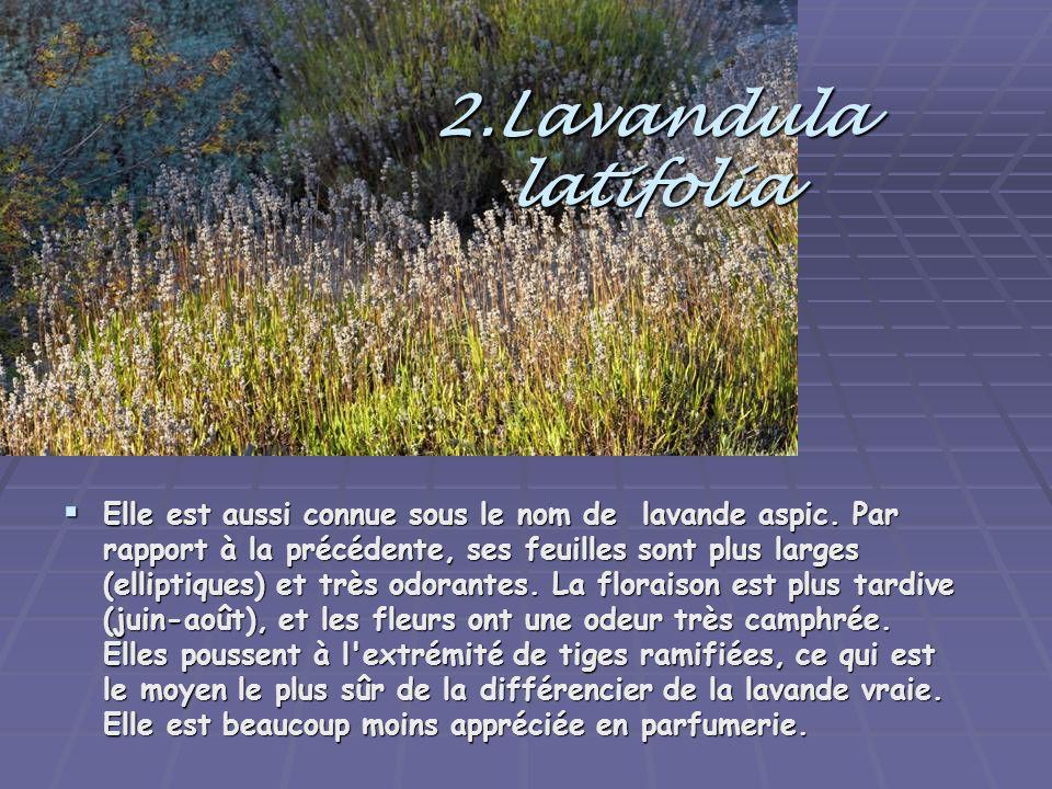 2.Lavandula latifolia Elle est aussi connue sous le nom de lavande aspic. Par rapport à la précédente, ses feuilles sont plus larges (elliptiques) et