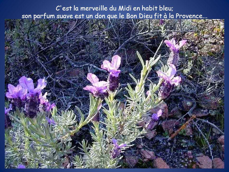 C'est la merveille du Midi en habit bleu; son parfum suave est un don que le Bon Dieu fit à la Provence...
