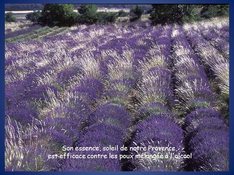 Son essence, soleil de notre Provence, est efficace contre les poux mélangée à l'alcool