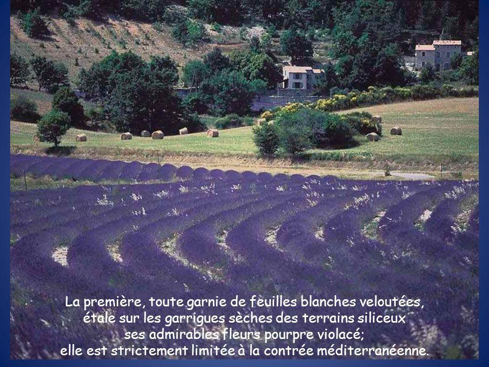 La première, toute garnie de feuilles blanches veloutées, étale sur les garrigues sèches des terrains siliceux ses admirables fleurs pourpre violacé;