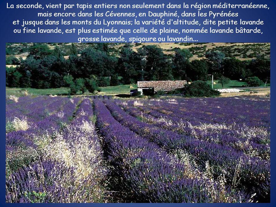 La seconde, vient par tapis entiers non seulement dans la région méditerranéenne, mais encore dans les Cévennes, en Dauphiné, dans les Pyrénées et jus