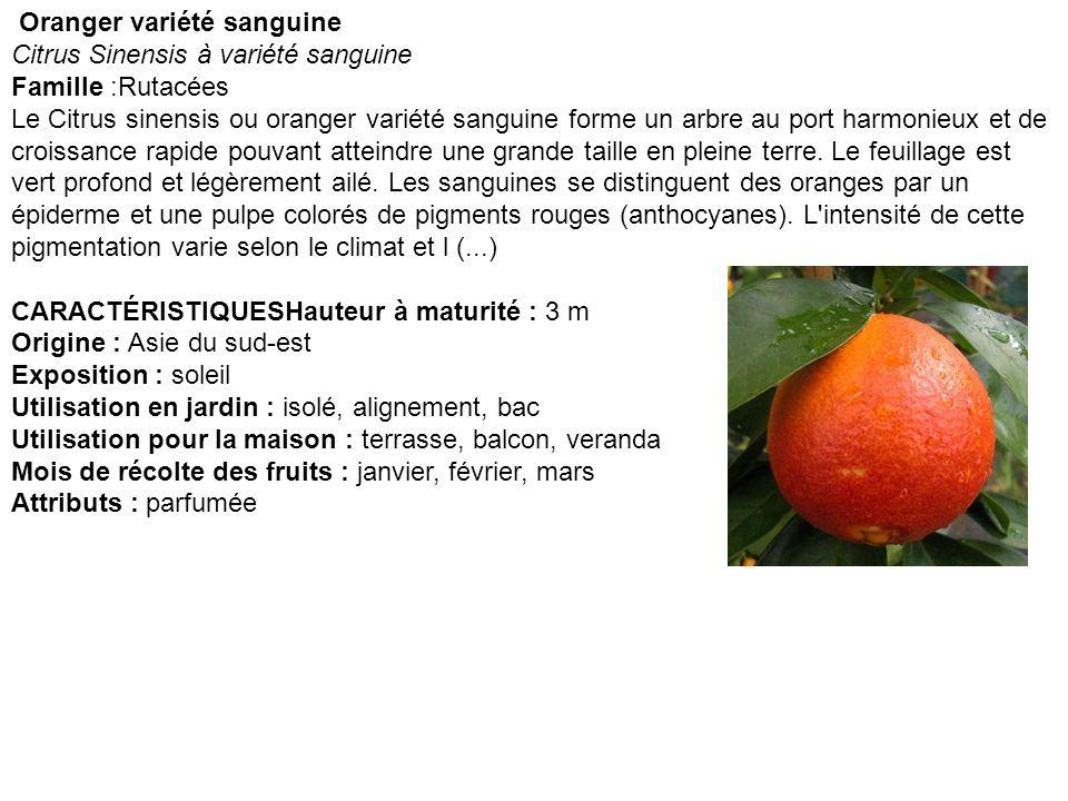 Oranger variété sanguine Citrus Sinensis à variété sanguine Famille :Rutacées Le Citrus sinensis ou oranger variété sanguine forme un arbre au port ha