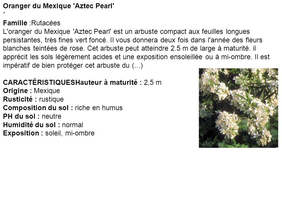 Oranger du Mexique 'Aztec Pearl' ' Famille :Rutacées L'oranger du Mexique 'Aztec Pearl' est un arbuste compact aux feuilles longues persistantes, très