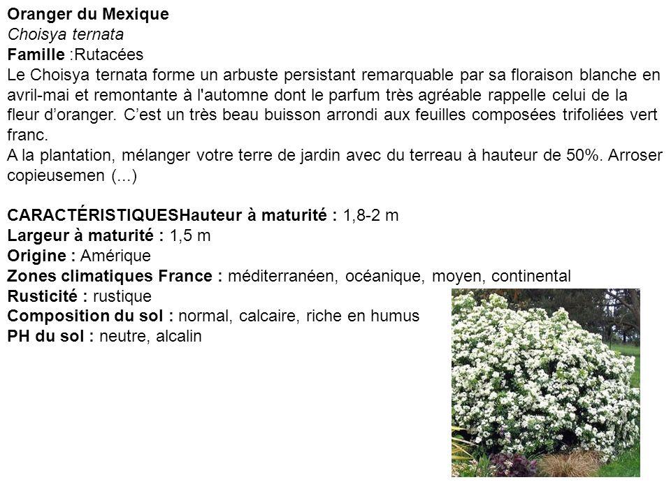 Oranger du Mexique Choisya ternata Famille :Rutacées Le Choisya ternata forme un arbuste persistant remarquable par sa floraison blanche en avril-mai