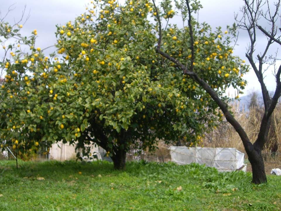 Citrus sinensis Famille :Rutacées L arbre au port harmonieux et de croissance rapide peut atteindre une grande taille en pleine terre.Le feuillage est vert profond et légèrement ailé.