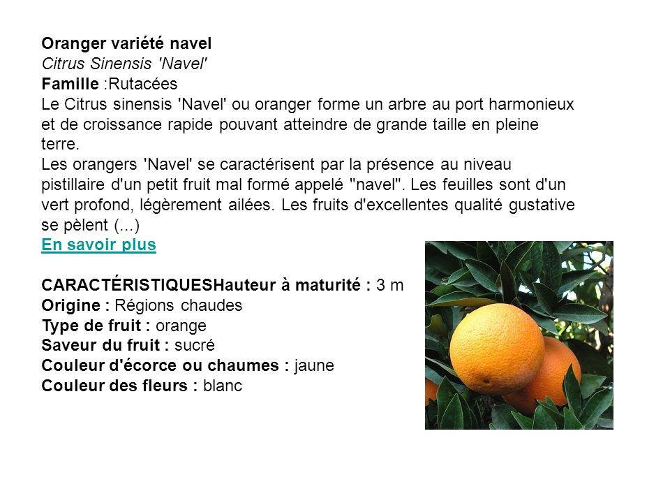 Oranger variété navel Citrus Sinensis 'Navel' Famille :Rutacées Le Citrus sinensis 'Navel' ou oranger forme un arbre au port harmonieux et de croissan