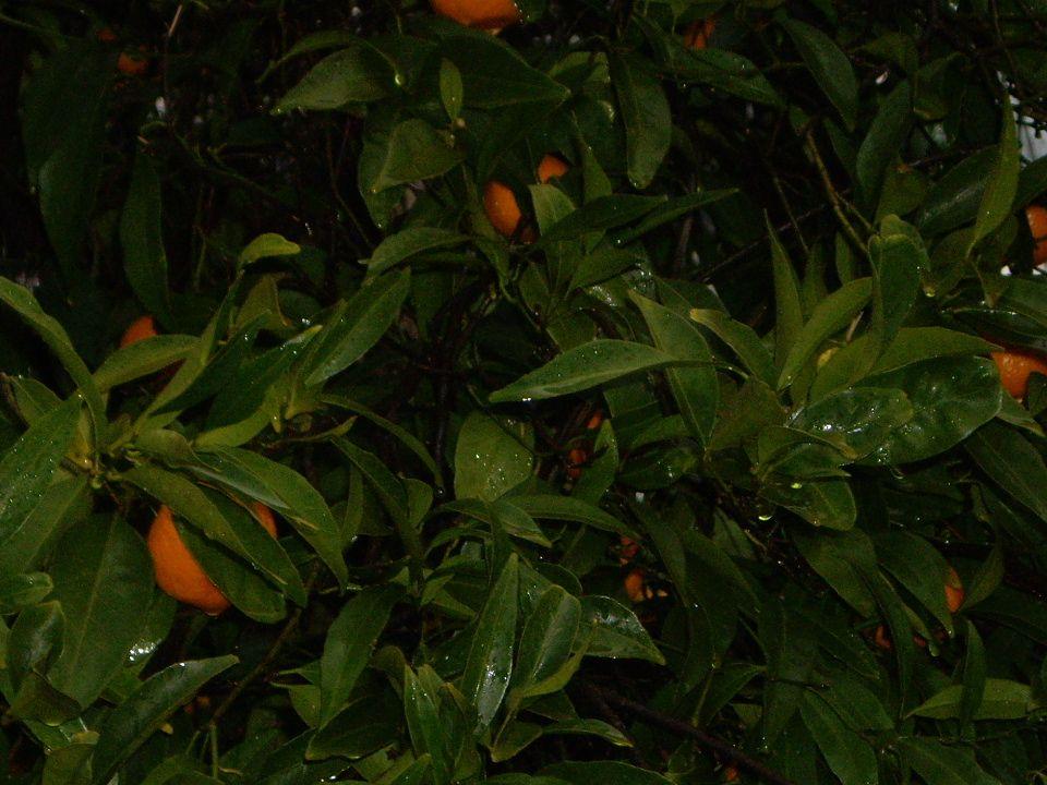 Oranger calamondin Famille :Rutacées Des fruits et des fleurs presque toute l année.