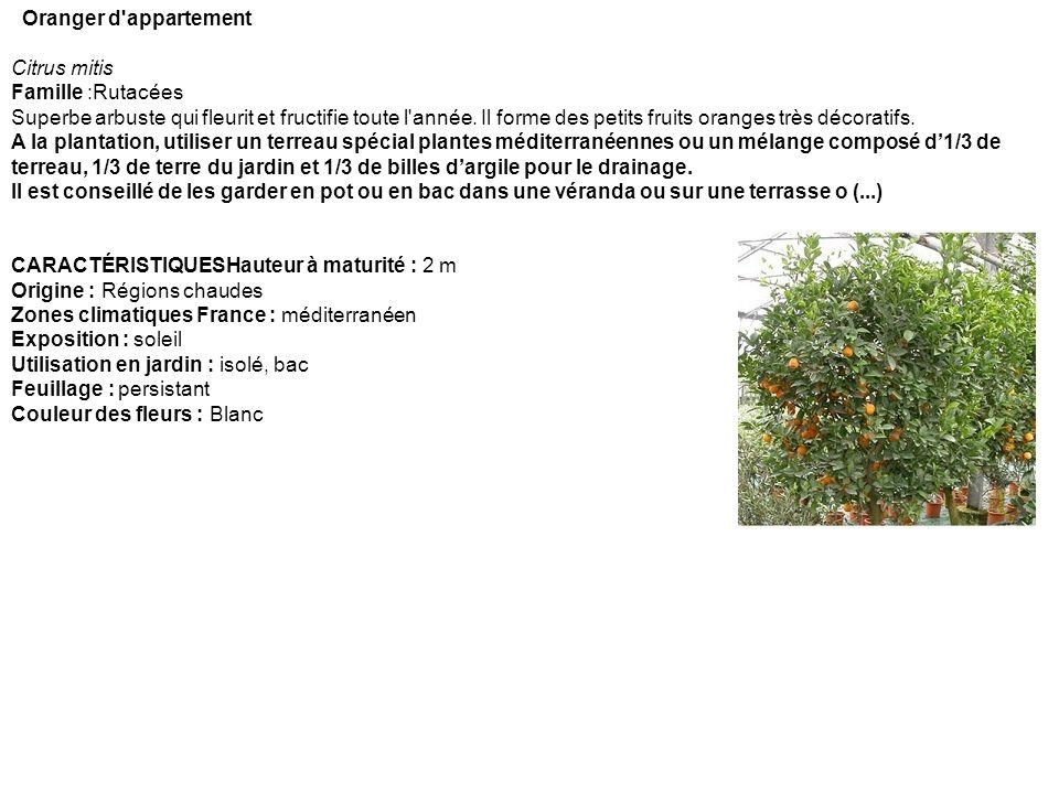 Oranger d'appartement Citrus mitis Famille :Rutacées Superbe arbuste qui fleurit et fructifie toute l'année. Il forme des petits fruits oranges très d