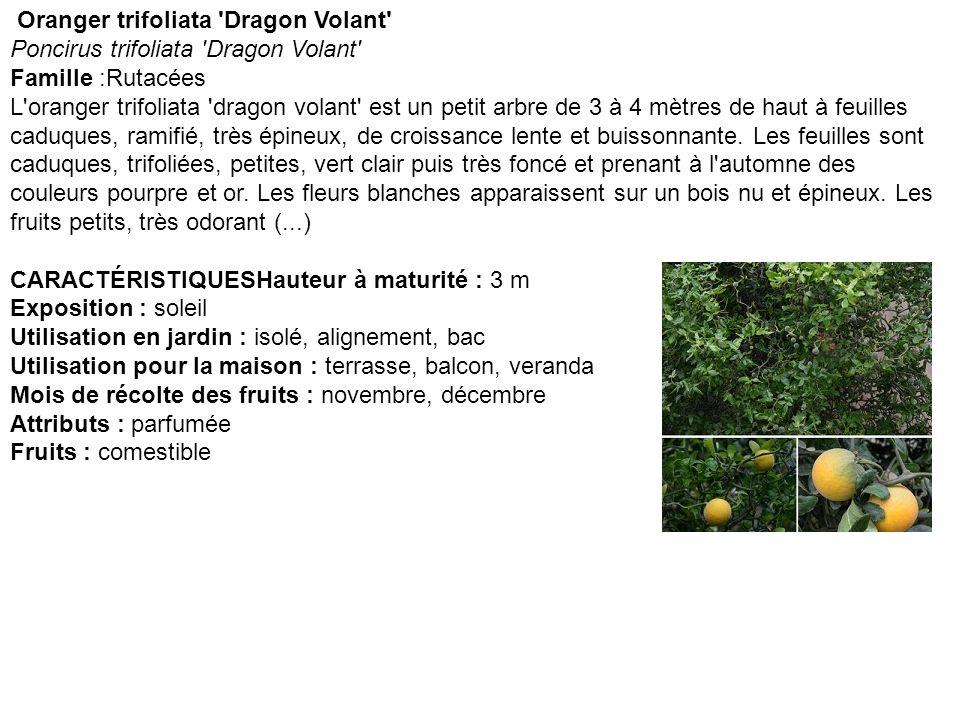 Oranger trifolié Poncirus trifoliata Famille :Rutacées Le Poncirus trifoliata forme un petit arbre de 3 à 4 mètres de haut à feuilles caduques, ramifié, très épineux, de croissance lente et buissonnante.