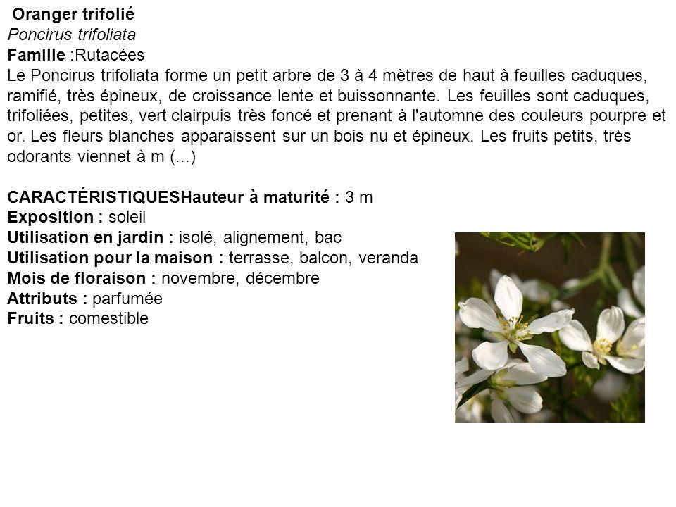 Oranger trifolié Poncirus trifoliata Famille :Rutacées Le Poncirus trifoliata forme un petit arbre de 3 à 4 mètres de haut à feuilles caduques, ramifi