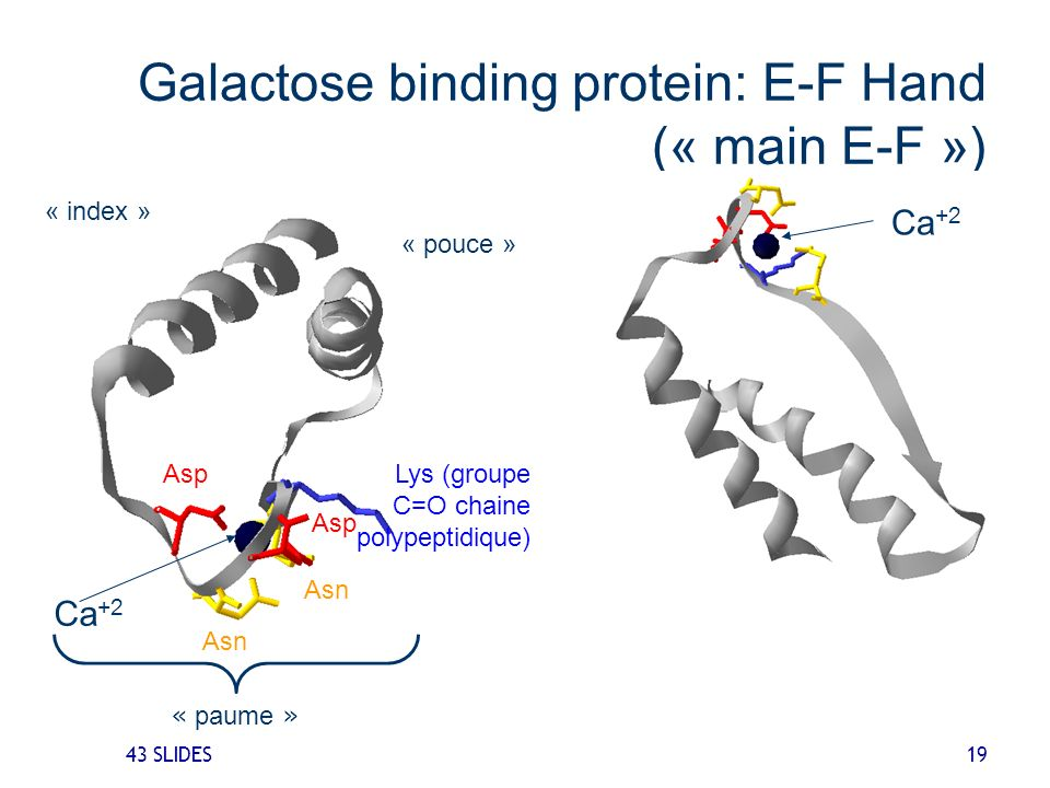 43 SLIDES 19 Galactose binding protein: E-F Hand (« main E-F ») Ca +2 Asp Asn Lys (groupe C=O chaine polypeptidique) Ca +2 « pouce » « index » « paume