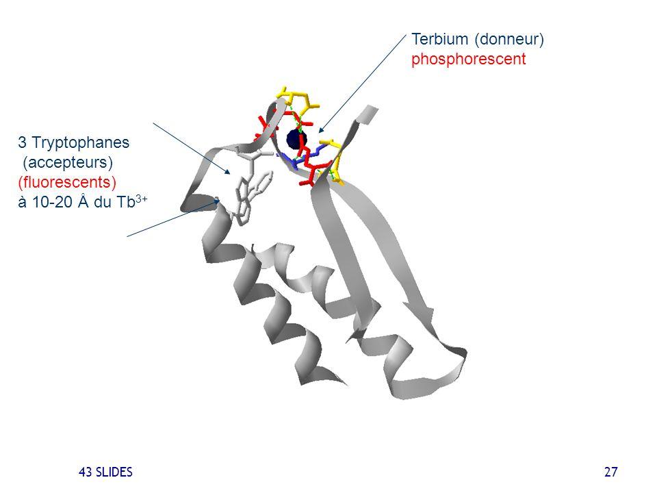 43 SLIDES 27 3 Tryptophanes (accepteurs) (fluorescents) à 10-20 Å du Tb 3+ Terbium (donneur) phosphorescent