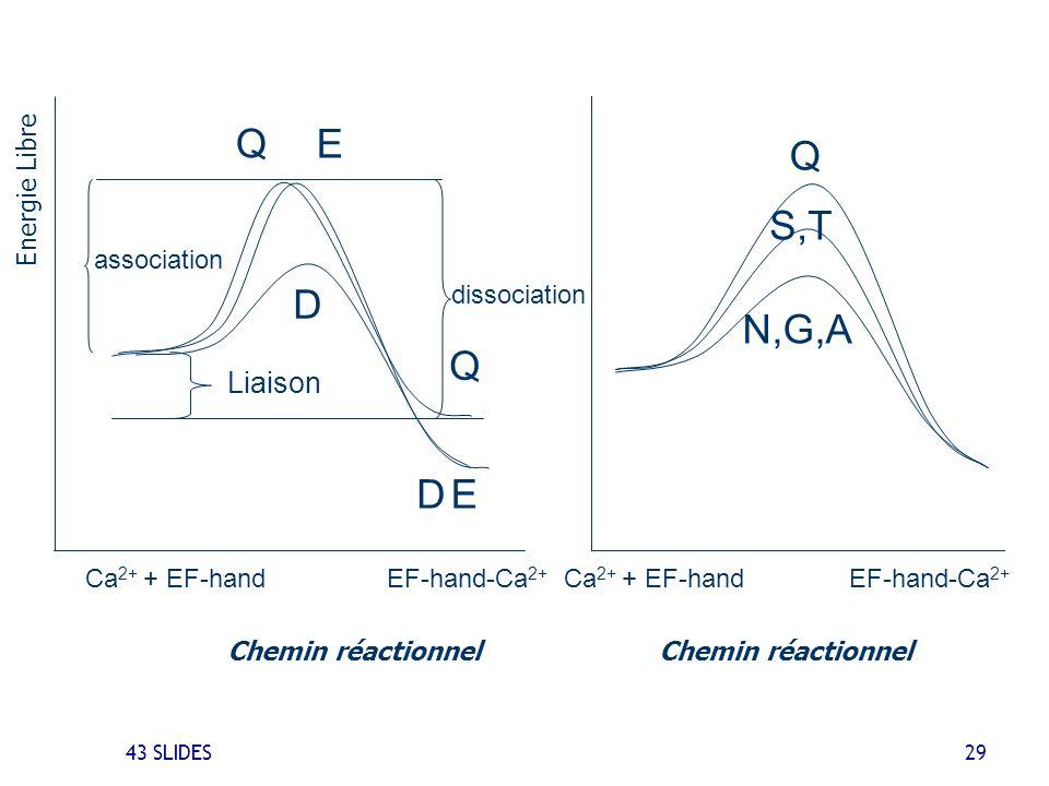 43 SLIDES 29 Ca 2+ + EF-handEF-hand-Ca 2+ N,G,A S,T Q Chemin réactionnel Ca 2+ + EF-handEF-hand-Ca 2+ D D Liaison association Q Q dissociation E E Ene