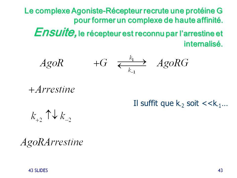 43 SLIDES 43 Le complexe Agoniste-Récepteur recrute une protéine G pour former un complexe de haute affinité. Ensuite, le récepteur est reconnu par la