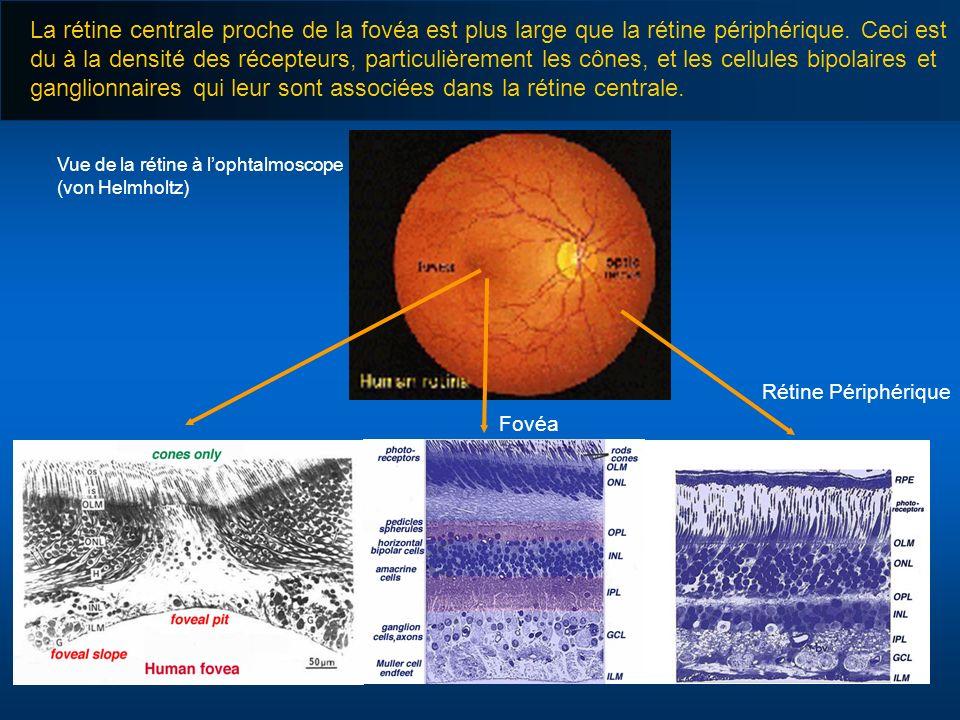 Vue de la rétine à lophtalmoscope (von Helmholtz) Fovéa Rétine Périphérique La rétine centrale proche de la fovéa est plus large que la rétine périphé