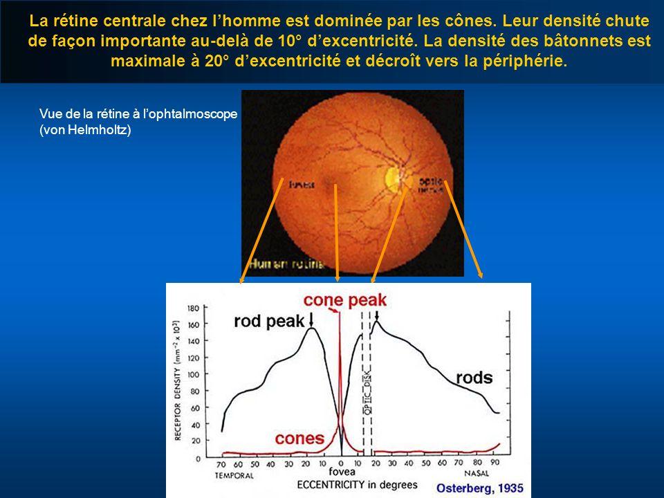 Vue de la rétine à lophtalmoscope (von Helmholtz) La rétine centrale chez lhomme est dominée par les cônes. Leur densité chute de façon importante au-