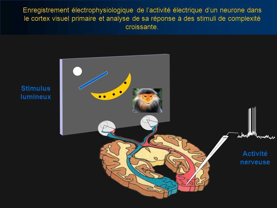 Stimulus lumineux Activité nerveuse Enregistrement électrophysiologique de lactivité électrique dun neurone dans le cortex visuel primaire et analyse