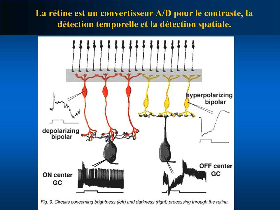 La rétine est un convertisseur A/D pour le contraste, la détection temporelle et la détection spatiale.