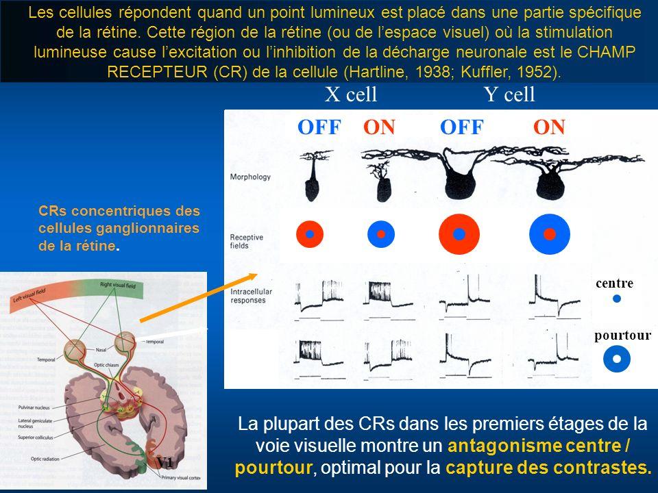 CRs concentriques des cellules ganglionnaires de la rétine. La plupart des CRs dans les premiers étages de la voie visuelle montre un antagonisme cent