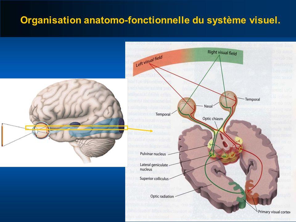 Organisation anatomo-fonctionnelle du système visuel.