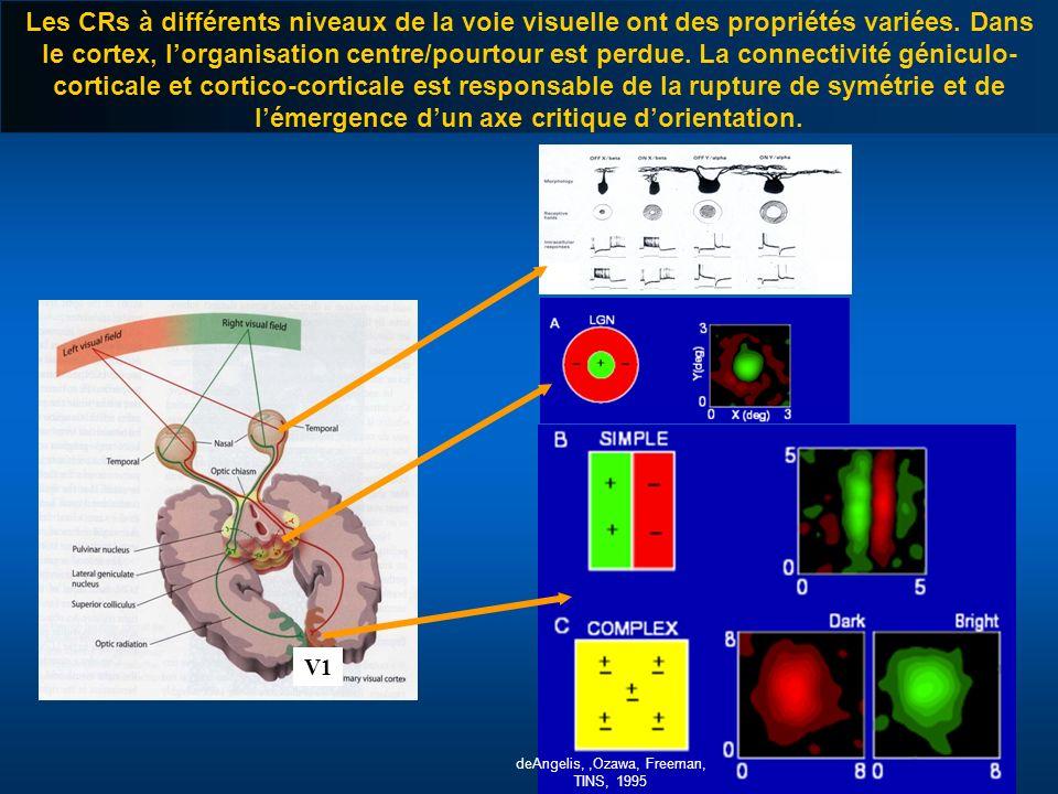 V1 Les CRs à différents niveaux de la voie visuelle ont des propriétés variées. Dans le cortex, lorganisation centre/pourtour est perdue. La connectiv