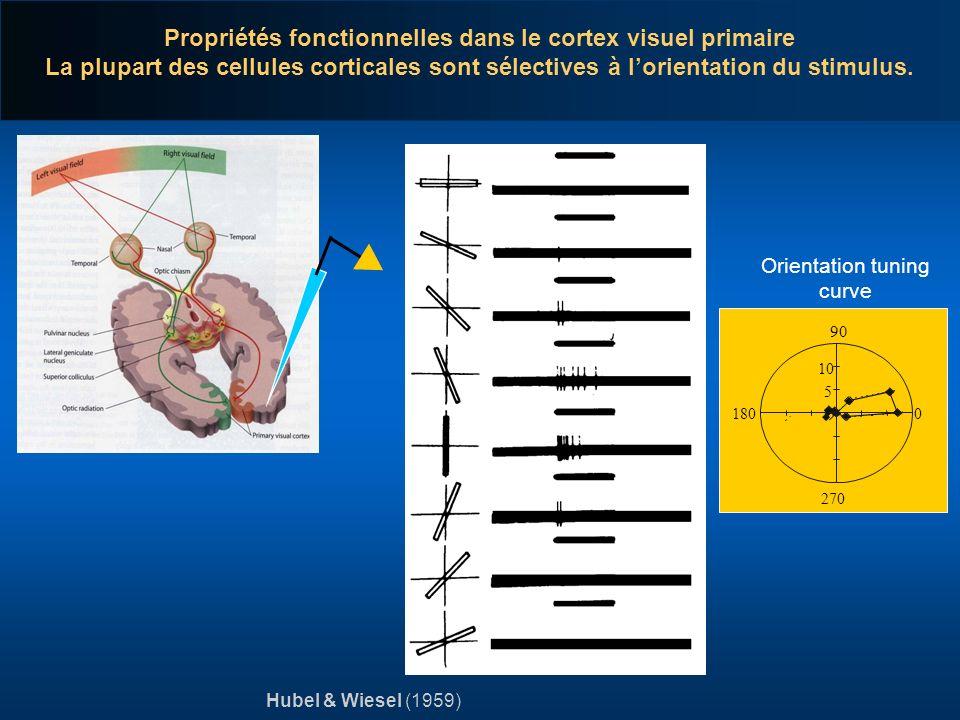 Propriétés fonctionnelles dans le cortex visuel primaire La plupart des cellules corticales sont sélectives à lorientation du stimulus. Hubel & Wiesel
