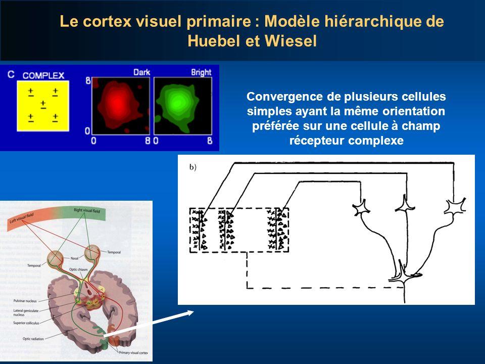 Convergence de plusieurs cellules simples ayant la même orientation préférée sur une cellule à champ récepteur complexe Le cortex visuel primaire : Mo