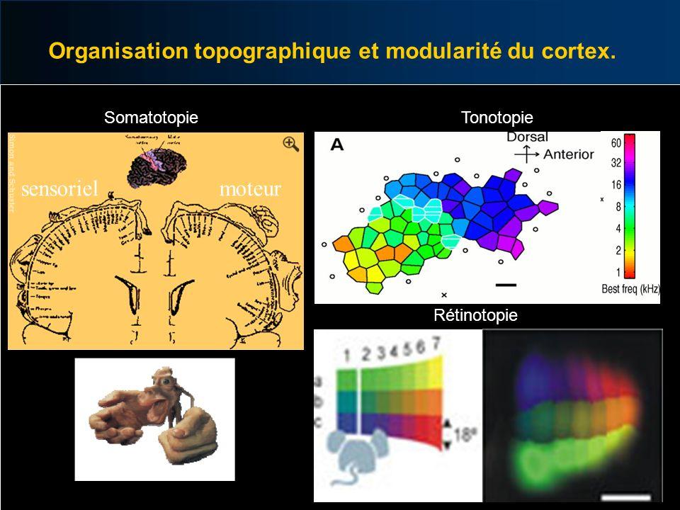 Organisation topographique et modularité du cortex. sensorielmoteur Somatotopie Rétinotopie Tonotopie