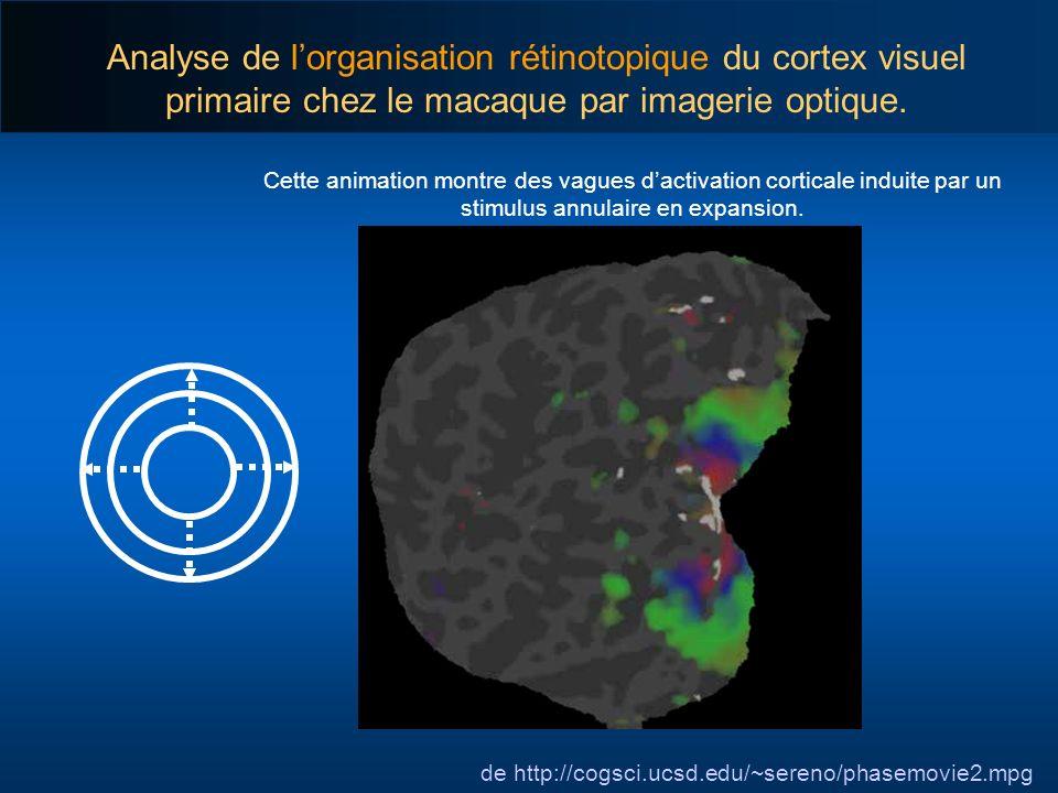 Analyse de lorganisation rétinotopique du cortex visuel primaire chez le macaque par imagerie optique. de http://cogsci.ucsd.edu/~sereno/phasemovie2.m