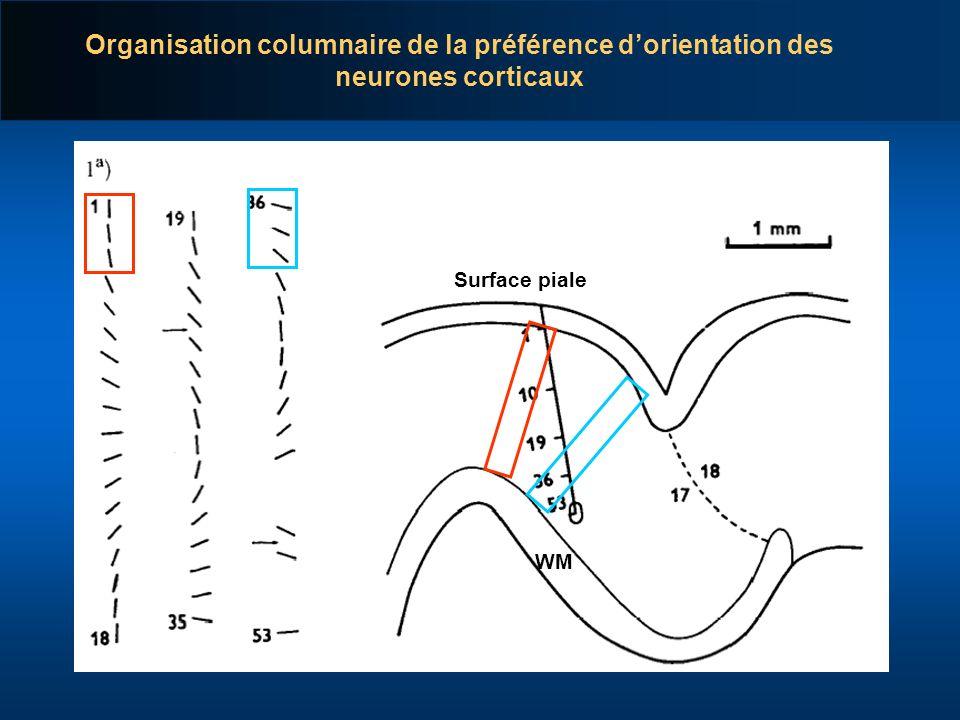 Organisation columnaire de la préférence dorientation des neurones corticaux Surface piale WM