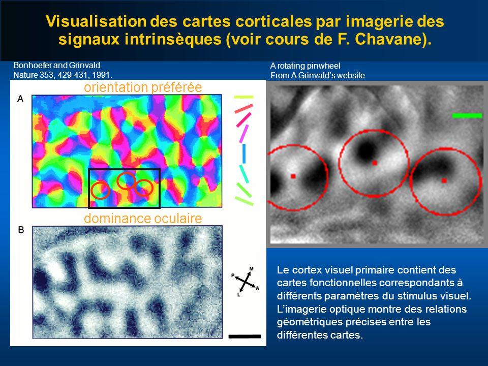 Visualisation des cartes corticales par imagerie des signaux intrinsèques (voir cours de F. Chavane). orientation préférée dominance oculaire Bonhoefe
