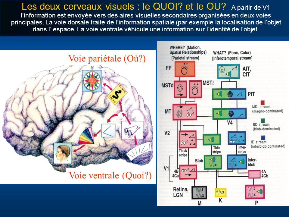 Les deux cerveaux visuels : le QUOI? et le OU? A partir de V1 linformation est envoyée vers des aires visuelles secondaires organisées en deux voies p