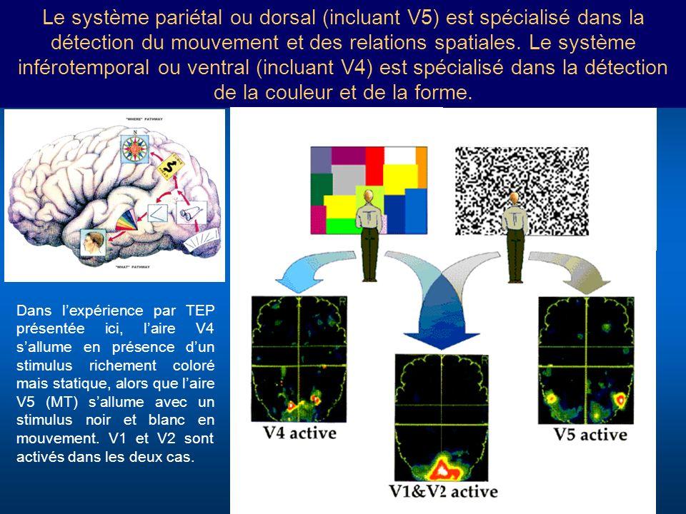 Le système pariétal ou dorsal (incluant V5) est spécialisé dans la détection du mouvement et des relations spatiales. Le système inférotemporal ou ven